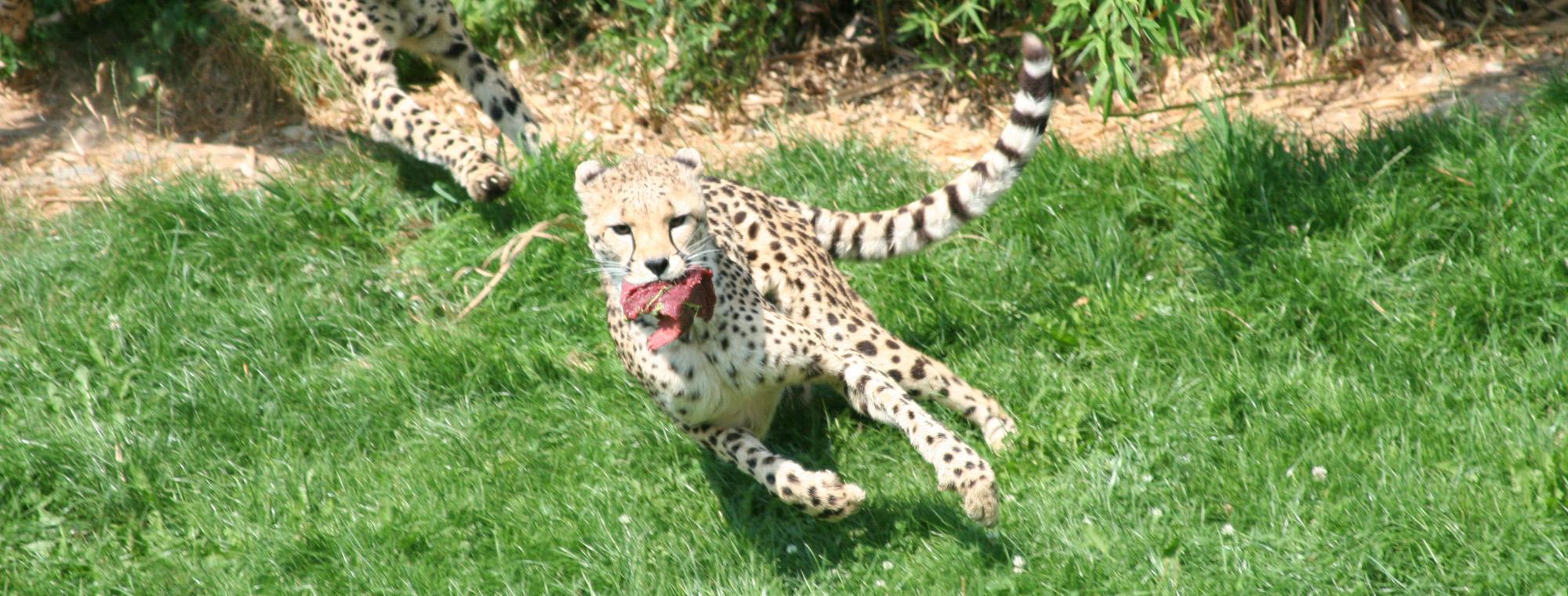 inga-pokora-heilpraktiker-Gepard-by-Martin-Mller-pixelio.de